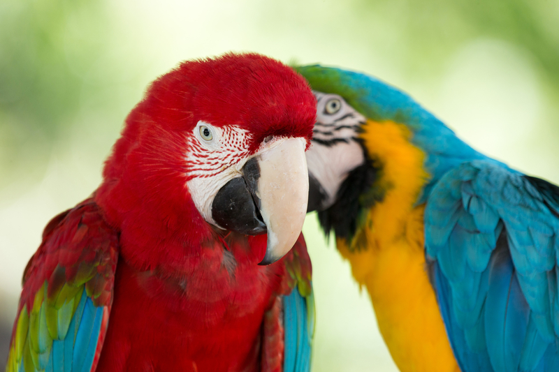 """Most parrots can say lots of phrases, but does that mean they can use a human language to communicate? Unfortunately, most language programs prepare students to become """"human parrots"""" that can say lots of memorized phrases, yet they cannot communicate effectively despite their best efforts."""